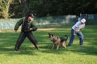 Protection training with a IDWT German Shepherd